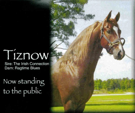 Tiznow - Stallion - Windsor Farm Saddlebreds